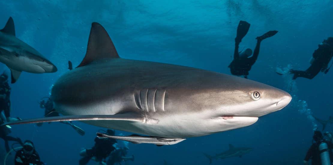 Mergulhando com Tubarões